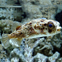 Saltwater Aquarium Fish for Marine Aquariums: Porcupine Puffer