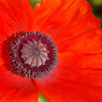 Poppy flower photography instant download, fall home decore, nature photo, downloadable floral print