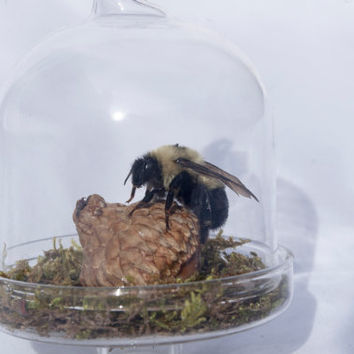 Carpenter Bee Mounted in Miniature Glass Dome Terrarium