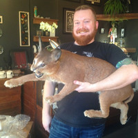 Vintage Caracal Taxidermy Mount