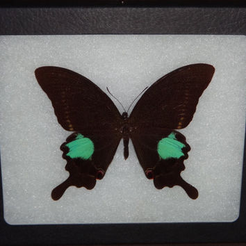Framed Butterfly Peacock Swallowtail Butterfly Specimen Wing Art Display