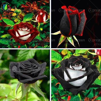 100 rare rose seeds Black Rose Flower with Red Edge Rare Rose  Flowers Bonsai Plants For Garden Bonsai Planting