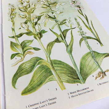 Botanical art, Vintage prints of wild flowers, Botanical prints, Green plants, Wild Flower illustrations, unframed pictures, wild flower art