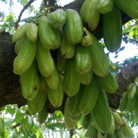 Averrhoa bilimbi Seeds £2.56 from Chiltern Seeds - Chiltern Seeds Secure Online Seed Catalogue and Shop