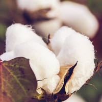 Cotton Field 24 by Andrea Anderegg Photography