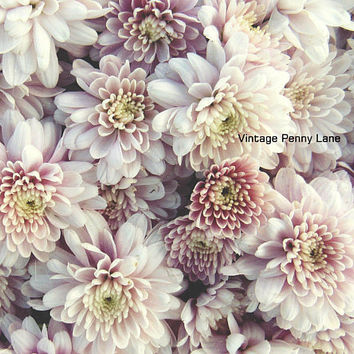 Nature Photography Mums / Flowers, Instant Download
