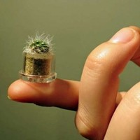 Fluffy miniature pet plant - Boo-Boo Plant -