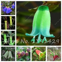 100pcs Big Selling Fuchsia Flower Seeds,Rare Bonsai seeds,Flowerpot Seeds, Multi color Flower Plant for Home Garden