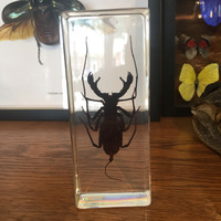 Large Whip Scorpion Paperweight