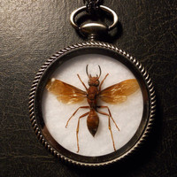 Red Brown Wasp Specimen Pocket Watch Ossuary Entomology