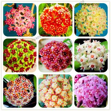 Rare 100pcs/bag Hoya flower Seeds,Ball Orchid Seeds,Indoor Bonsai Flower ,Natural Growth Pot for Home Garden Planting