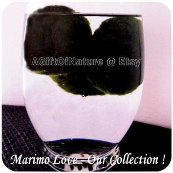 Marimo Love : 1 Japanese Marimo Moss Ball Small  - Moss Balls For Your Aquarium Terrarium Fish Tank