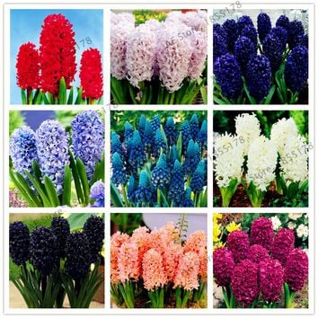 Big sale!105pcs/bag Hyacinth seeds, Perennial Hyacinth potted seed, Bonsai plant flower seeds for home& garden