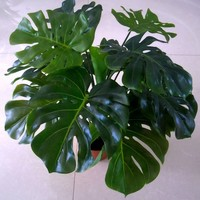 Free shipping(13 leaves/pcs)Turtle leaves plants, Artificial tree,Artificial plants,home decoration,indoor plants