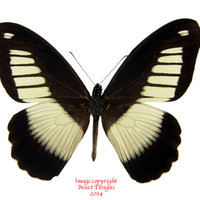 Insect Designs :: Butterflies and Moths :: Papilionidae :: Papilio cynorta (RCA)