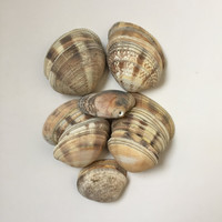 Drilled Sea Shells/ Large Shells/ Top Drilled Shells/ Natural Shells/ Crafting Seashell / Natural Shell / Beach Finds/ Set of 20