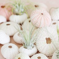 "Natural Urchins in Pink Cream - 1.5-2"" Wide"