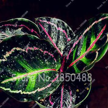 100 Pcs Rare Calathea Seeds Air Freshening Plants High Humidity Easy to Grow Office Desk Bonsai for Flower Pot Planters