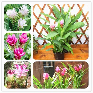 Thailand Curcuma Seeds Also Called Siam Tulip Seeds Rare Flower Seeds A Member Of The Zingeraceae Family Garden Plant 10 Pcs/Bag