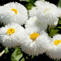 Heirloom 2000 Seeds English Daisy Monstrosa Corsican Bellis White Flower Bulk Seeds S021