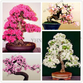 10pcs/bag Japanese Sakura seeds,cherry blossoms seeds,courtyard garden indoor bonsai tree Seeds, plant pot