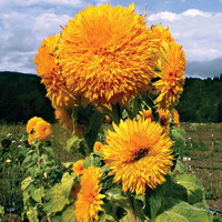 Sunflower Giant Sungold Seeds (Helianthus Annuus) 30+ Seeds