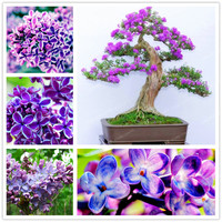50pcs White Japanese Lilac Seeds (Extremely Fragrant) Clove Flower Syzygium Aromaticum Seeds For Home & Garden