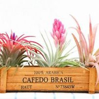 Bromeliad family, 3-pack regular size tillandsia promotion,set BBB,free shipping