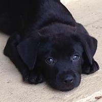 Pompano Beach, FL - Labrador Retriever Mix. Meet Bear a Puppy for Adoption.