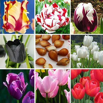 ZLKING 1 pcs Tulip Bonsai Bulbs (Not Tulip Seeds), 19 colors available Tulips Variety Fresh Bulbous Root Flower Corms Planted