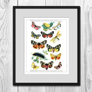 VINTAGE BUTTERFLY ILLUSTRATION Reprinted 1895 Butterfly Art Butterflies Home Decor Colorful Wall Art Antique Butterflies Moths Caterpillar