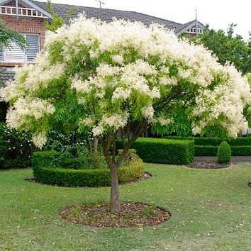 Flowering Ash Tree Seeds (Fraxinus ornus) 20+Seeds