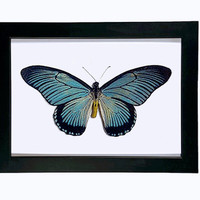 Real Giant Blue Swallowtail