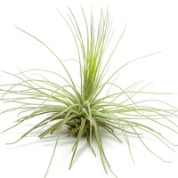 Filifolia Airplant