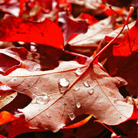 Autumn red Stretched Canvas by Vorona Photography