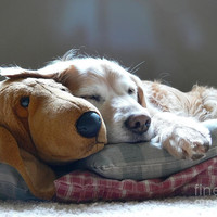 Golden Retriever Dog Sleeping With My Friend Photograph by Jennie Marie Schell - Golden Retriever Dog Sleeping With My Friend Fine Art Prints and Posters for Sale