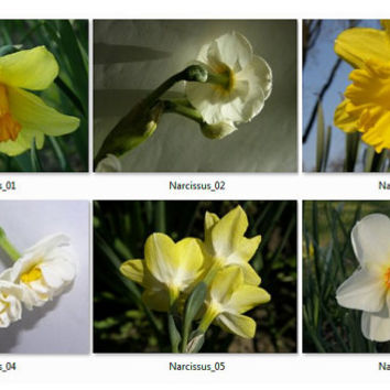 Set of 30 download Narcissus images - Digital photography - Flowers photo - Flower pictures - Nature photos - Narcissus images.