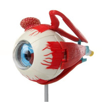 Human Eyeball Anatomy Model Puzzle Toy