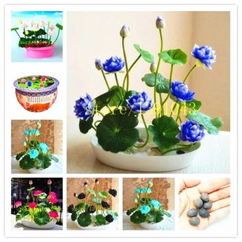 lotus seeds lotus water lily seeds water lily flower 5 particle pack Bowl lotus Aquatic Plants for home decoration