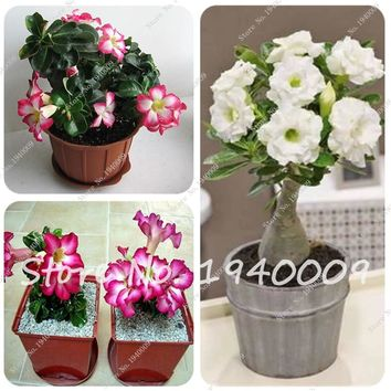 100% True Desert Rose Seeds Ornamental Plants Balcony Bonsai Potted Flowers Seeds Adenium Obesum Seed 2 PCS Free Shipping