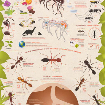 Ants Formicidae Insect Education Poster 24x36