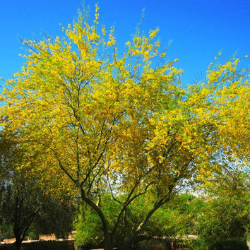 Palo Verde Tree, Cercidium floridium, showy tree, yellow desert bloomer, 10 seeds, loves extreme heat, drought tolerant, xeriscape beauty