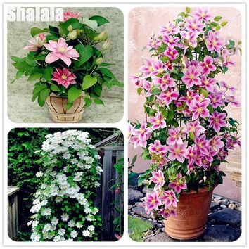 30 Pcs/bag Heirloom Clematis Seeds Colorful Climbing Clematis Vine Perennial Flower Garden Decor Potted Plants
