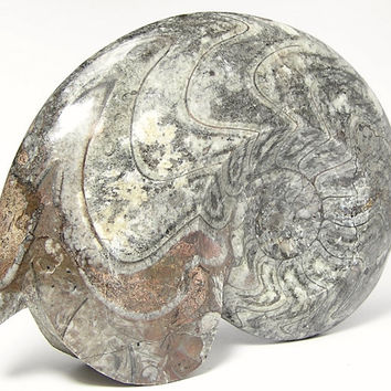 Fossil Goniatite Ammonite Polished Fossil Cephalopod from the Primordial Ocean of Morocco Geology Sample for Science Rock Display 6+ inches