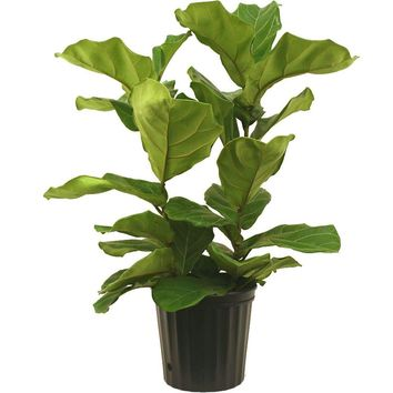Delray Plants 10 in. Ficus Pandurata Bush-10PAN at The Home Depot