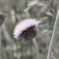 Almost Black And White Pale Purple Thistle Flower Photograph by Colleen Cornelius