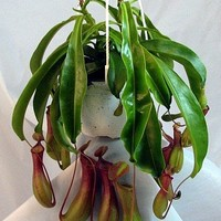 "Asian Pitcher Plant - Nepenthes - Carnivorous - Exotic - 6"" Hanging Basket"
