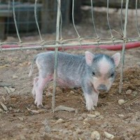 Petfinder Adoptable | Pot Bellied Pig | Vietnamese Pot Bellied | Seguin, TX | Paris Hilton