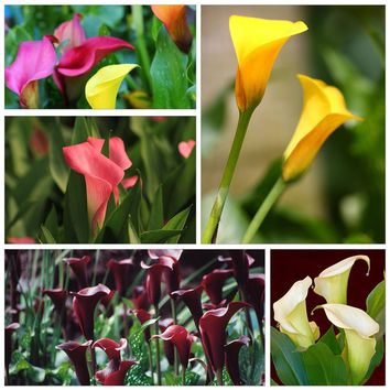 100Pcs Colorful Calla Lily Flower Seeds Potted Plant Bonsai Home Garden Yard Decoration