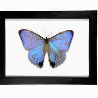 Pearl Morpho Butterfly Display